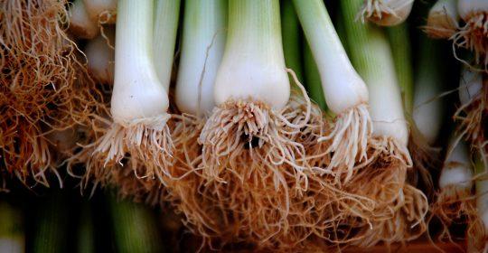 الأخضر العجيب بأوراقه الخضراء وجذوره البيضاء صحة للصائم وبمذاقه المميز الفاتح للشهية